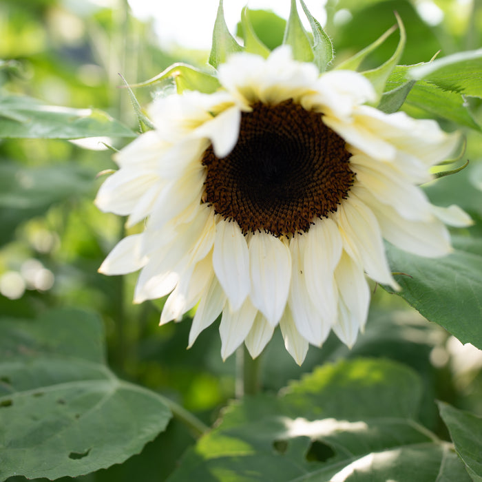 Sunflower Pro Cut White Nite
