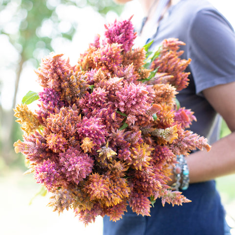 Celosia Rainbow Sherbet Mix