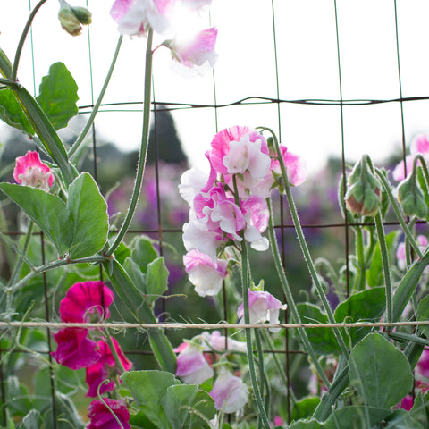 Sweet Pea Route 66