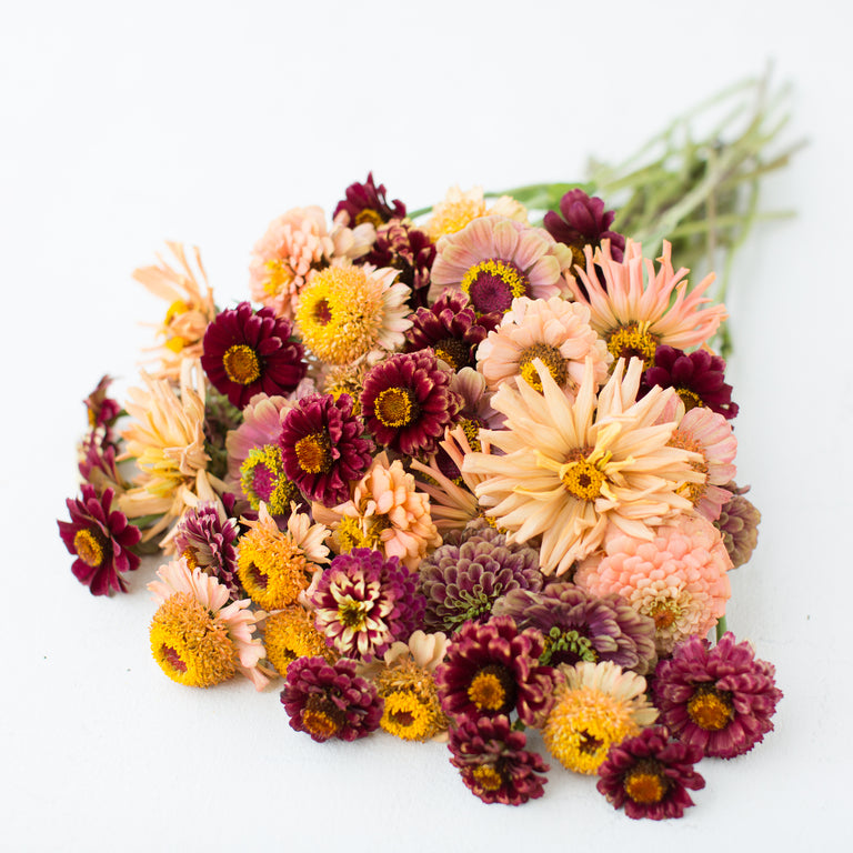 Seed Collection Sherbet Punch Zinnia Mix