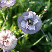 Shirley Poppy Amazing Grey