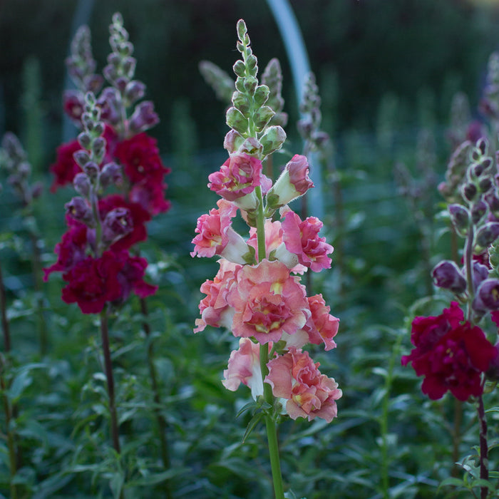 Snapdragon Madame Butterfly Bronze