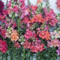 Snapdragon Madame Butterfly Peaches 'n Cream Mix