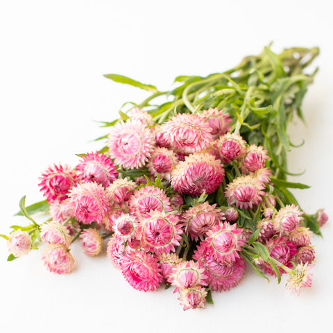 Strawflower Candy Pink