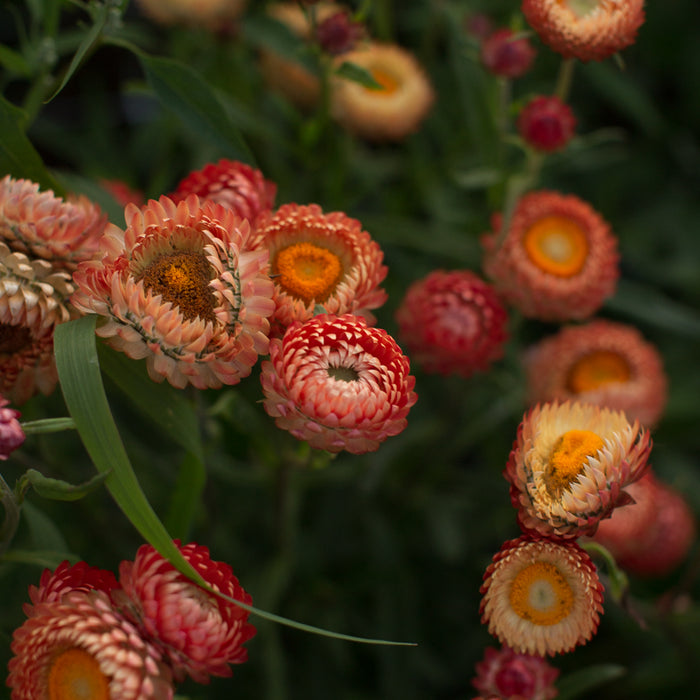 Strawflower Apricot Mix