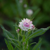 Strawflower Silvery Rose