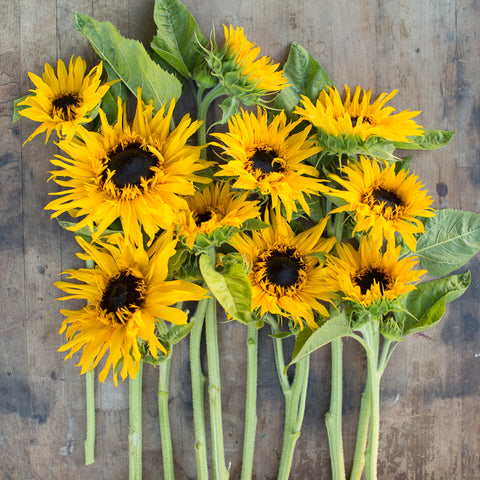 Sunflower Frilly