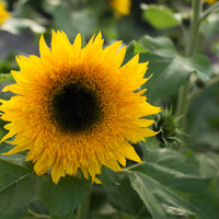 Sunflower Panache