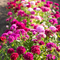 Sweet William Super Duplex Mix