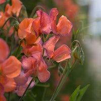 Sweet Pea Blue Vein