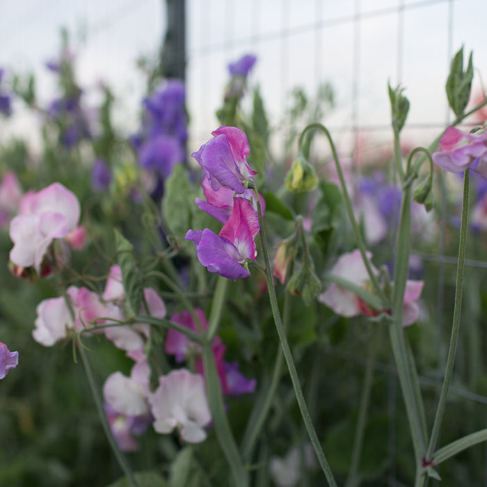 Sweet Pea Enchante