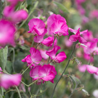 Sweet Pea Solstice Rose
