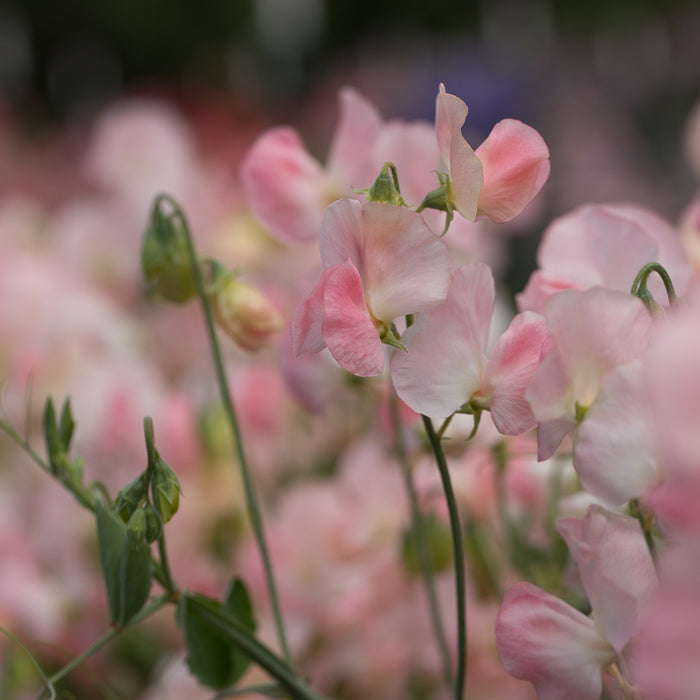 Sweet Pea Spring Sunshine Champagne