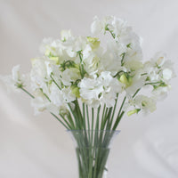 Sweet Pea White Supreme