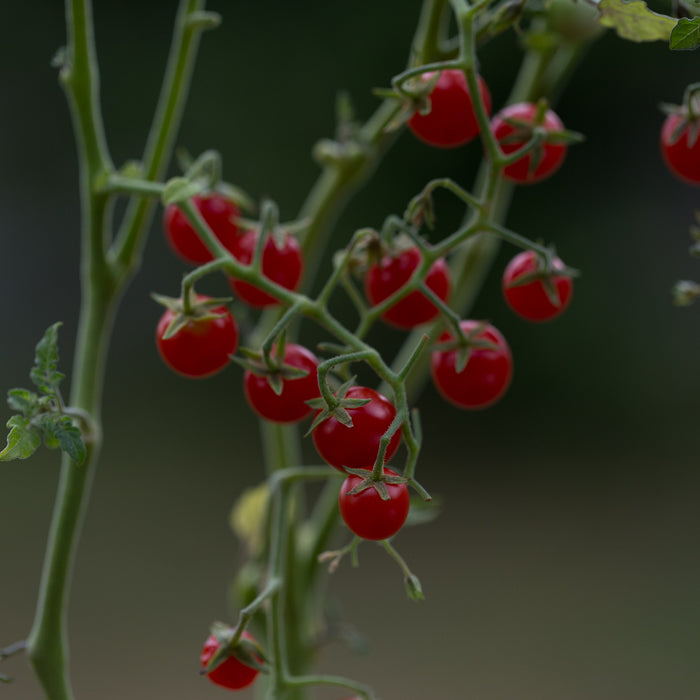 Tomato Currant Red