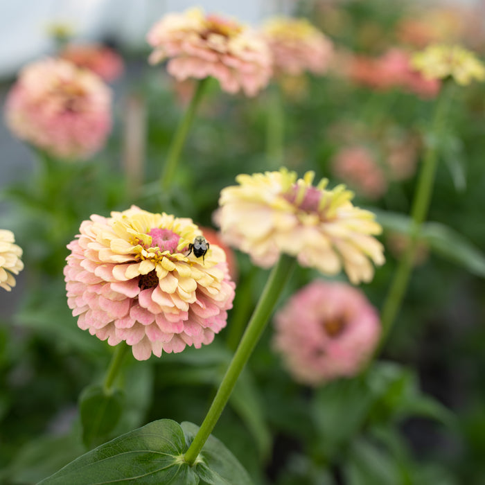 Zinnia Unicorn Mix