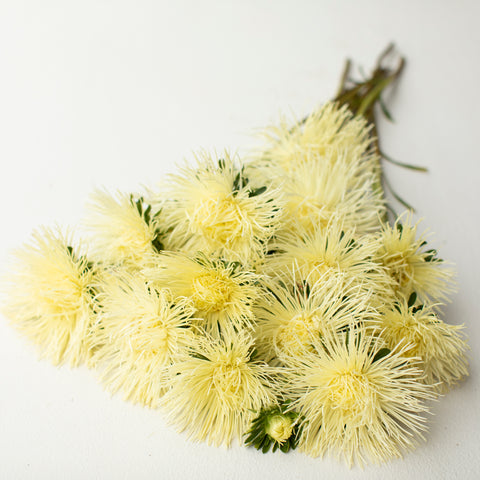 China Aster Valkyrie Yellow
