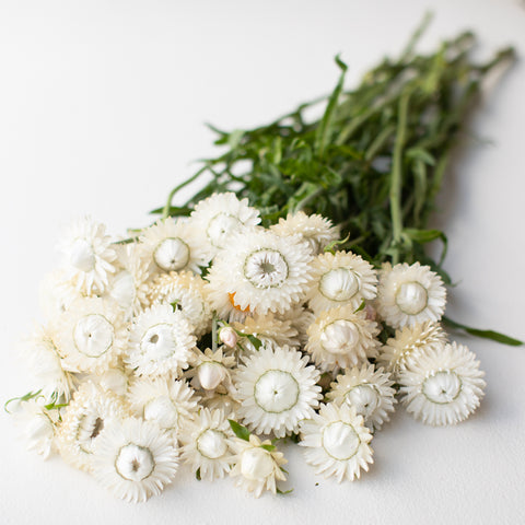 Strawflower Vintage White