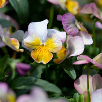 Pansy Viola Gem Apricot Antique