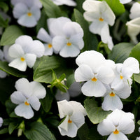 Pansy Viola Gem Heavenly Blue