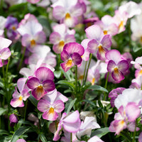 Pansy Viola Gem Pink Antique