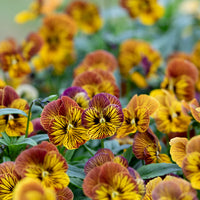 Pansy Viola Tiger Eye
