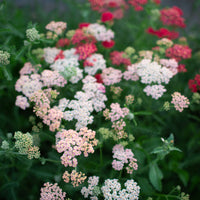 Yarrow Summer Berries