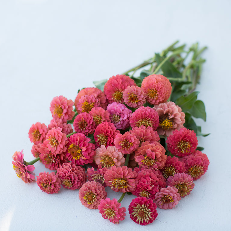 Zinnia Lilliput Salmon