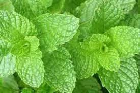 Southeast Spearmint  (sold by the ounce)
