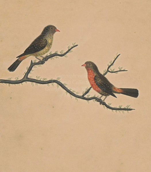 Firefinches