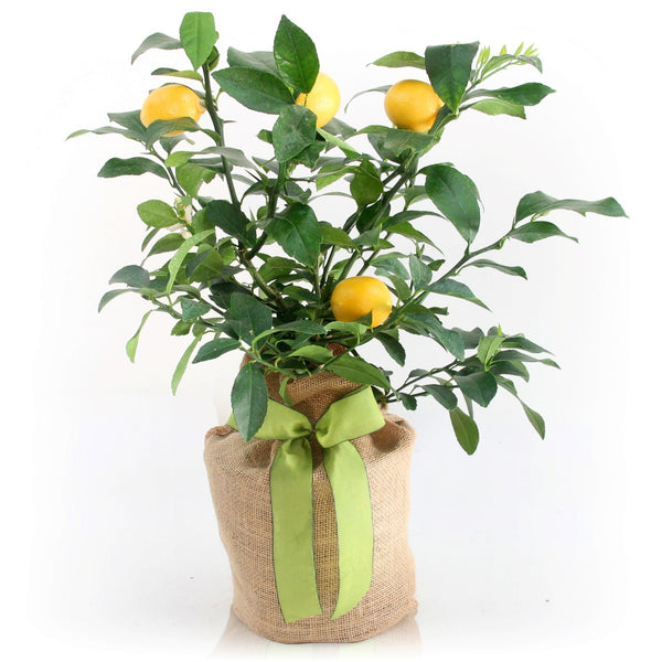 Meyer Lemon Gift Tree