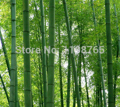 100 +fresh giant moso bamboo seeds for DIY home garden Household items - babiesrhere