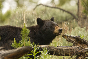 Embracing Ignorance: Examining the New Jersey Black Bear Hunt Ban