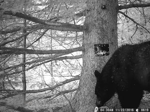 Black bear on trail camera