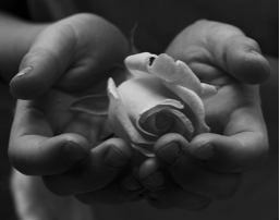 Rose in hands black and white