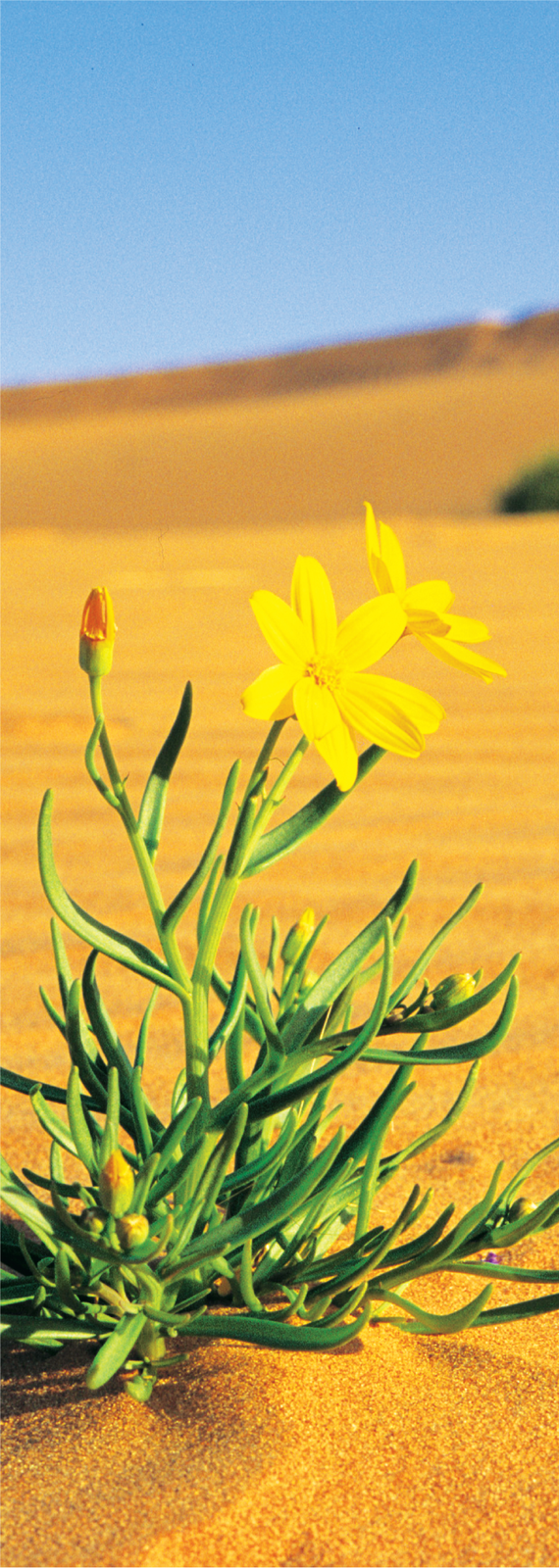 3D AG Yellow-Top Daisy