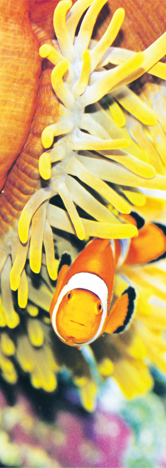 3D AG Clown Fish