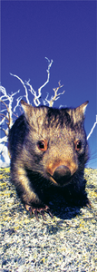 3D AG Common Wombat in Snow