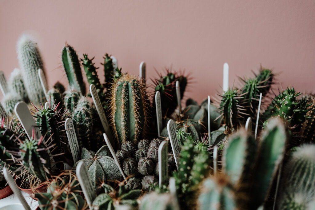 mini cactuses against pink wall