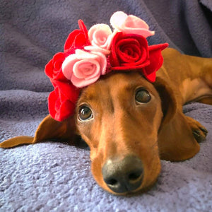 Willow, the Cute Mini Dachshund