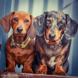 Meet Luna and Louie, the Mini Dachshunds