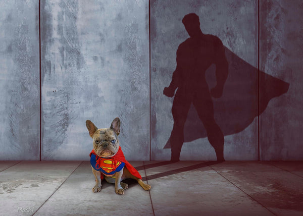 French Bulldog Superman