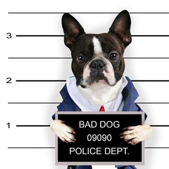 Police Department Boston Terrier Photo Canvas Print