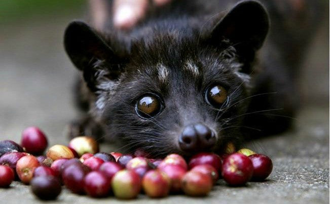 civet kopi luwak indonesian coffee