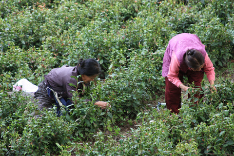 Female farmers harvesting tea in the field.