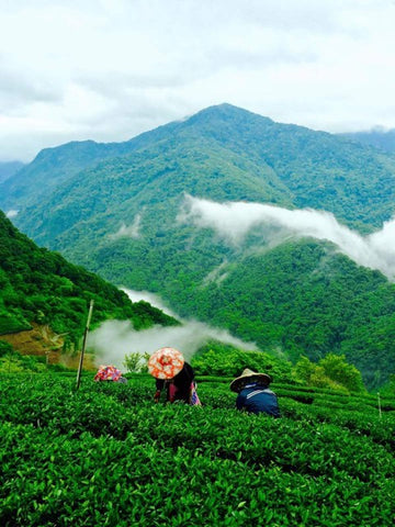 Xie's tea mountains in Lu Shan