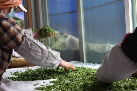 Sorting freshly picked green tea leaves in door.