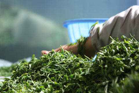 Sorting freshly picked green tea leaves