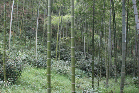 The bamboo forest near Lily's tea fields