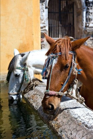 Horses Drinking in Antigua Guatemala Journal: 150 page lined notebook/diary